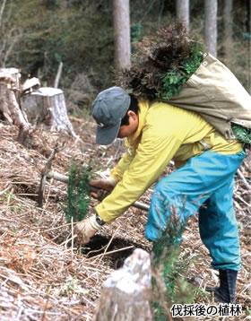 伐採後の植林