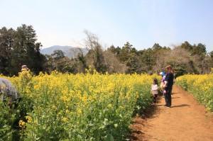 菜の花畑 神奈川