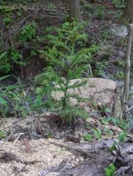 杉の苗木 植林 天竜