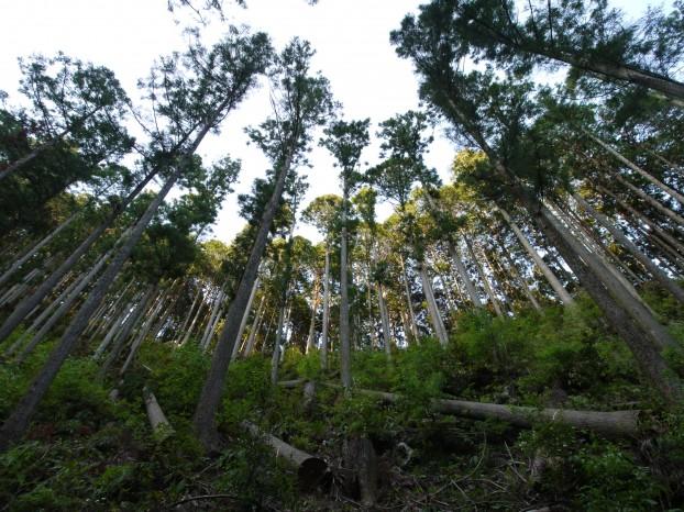 林業 国産 天竜杉 月齢伐採