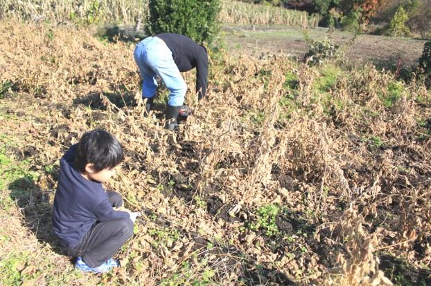 津久井在来大豆収穫