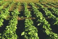 菜の花まつり菜種植え付け