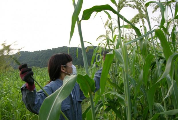 ホウキモロコシ収穫3小