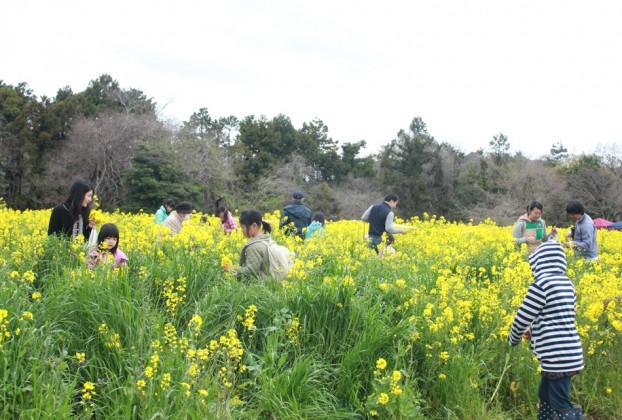 菜の花まつり愛川町