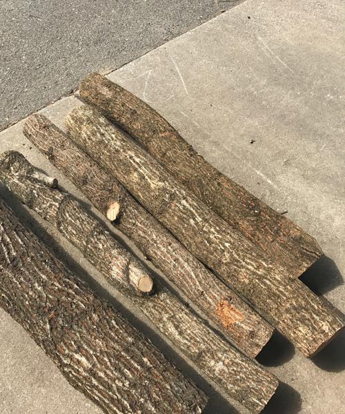 クヌギの原木にしいたけの駒打ち