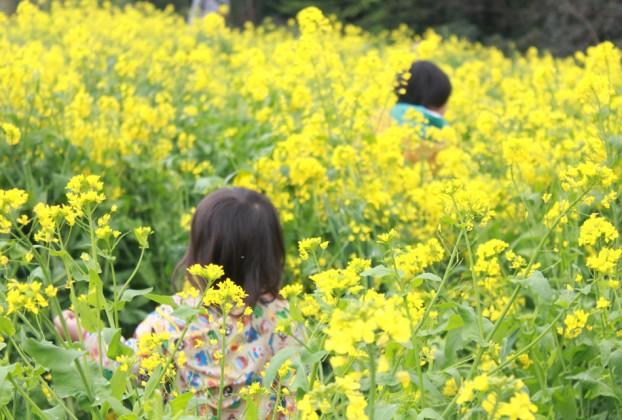 菜の花まつり2