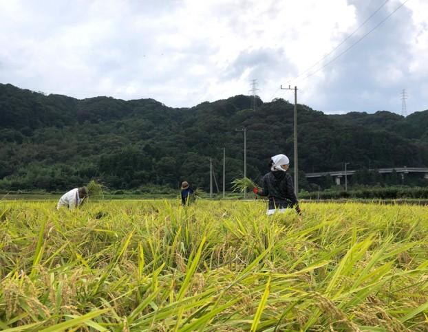 愛川町無農薬米